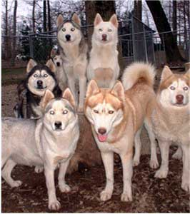 Hudsons Huskies - 6 generations of genetically healthy Siberian Huskies