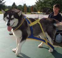 Hudsons Malamutes - Thumper AMCA Nationals 120 Champion