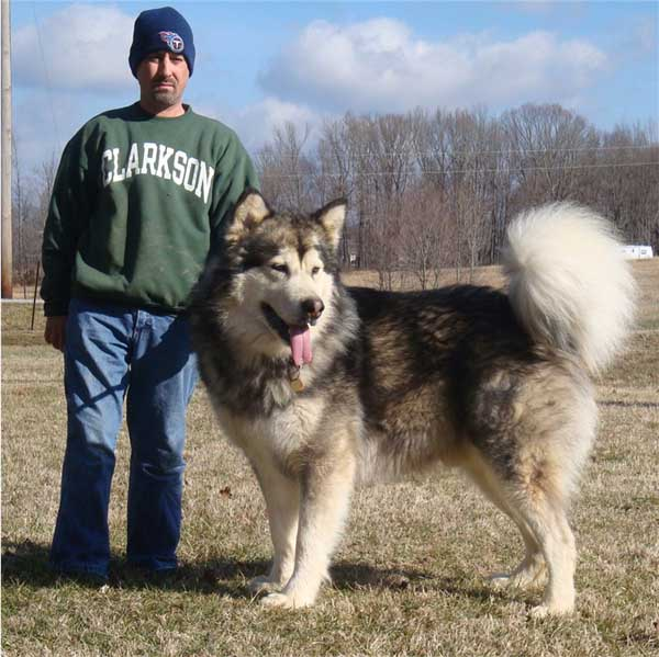 "Everyone has large Malamutes, we have "" True Giants"""