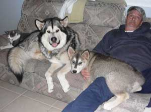 Malamute Full Grown