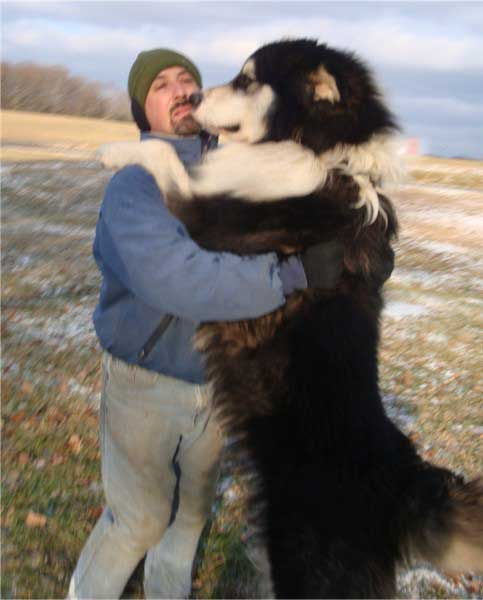Malamutes link will explain about the breed and some of the
